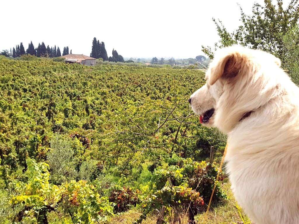 hund wacht ueber weingut aetna sizilien
