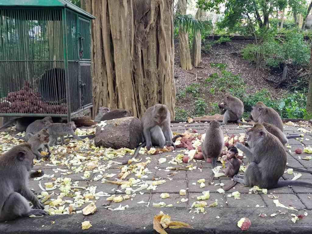 die affen beim füttern im affenwald bei ubud auf bali