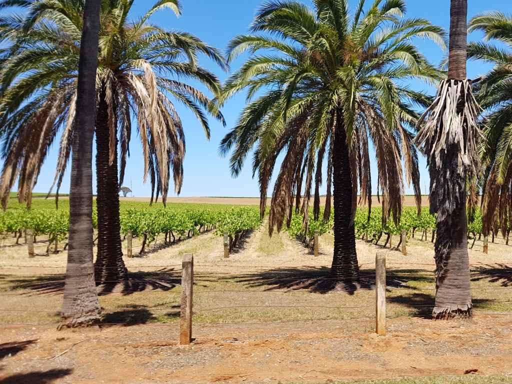 barossa valley palmengesäumte strassen mit weinreben