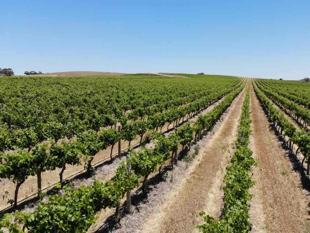 barossa valley akurate weinlandschaft bei strahlend blauem himmel
