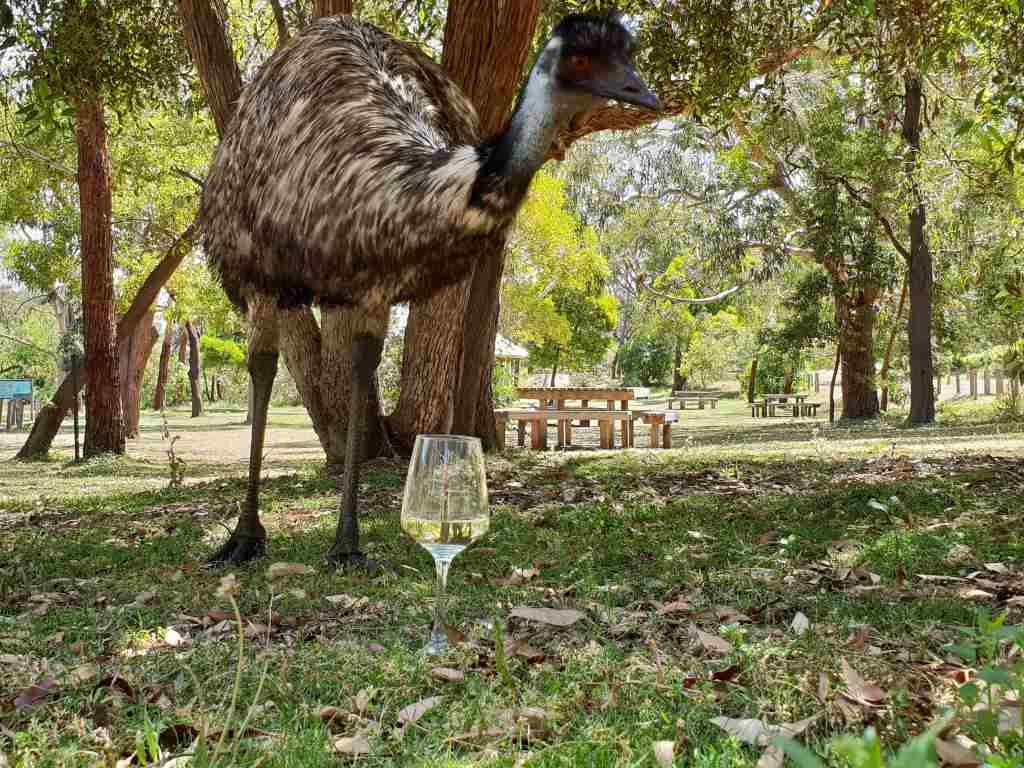 weinglas vor einem emu im wildlife park tower hill in australien
