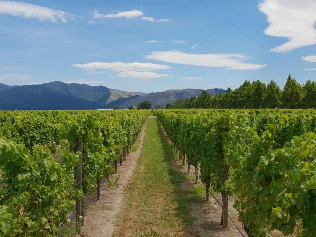 blick auf weinreben und die berge der weinregion marlborough in neuseeland