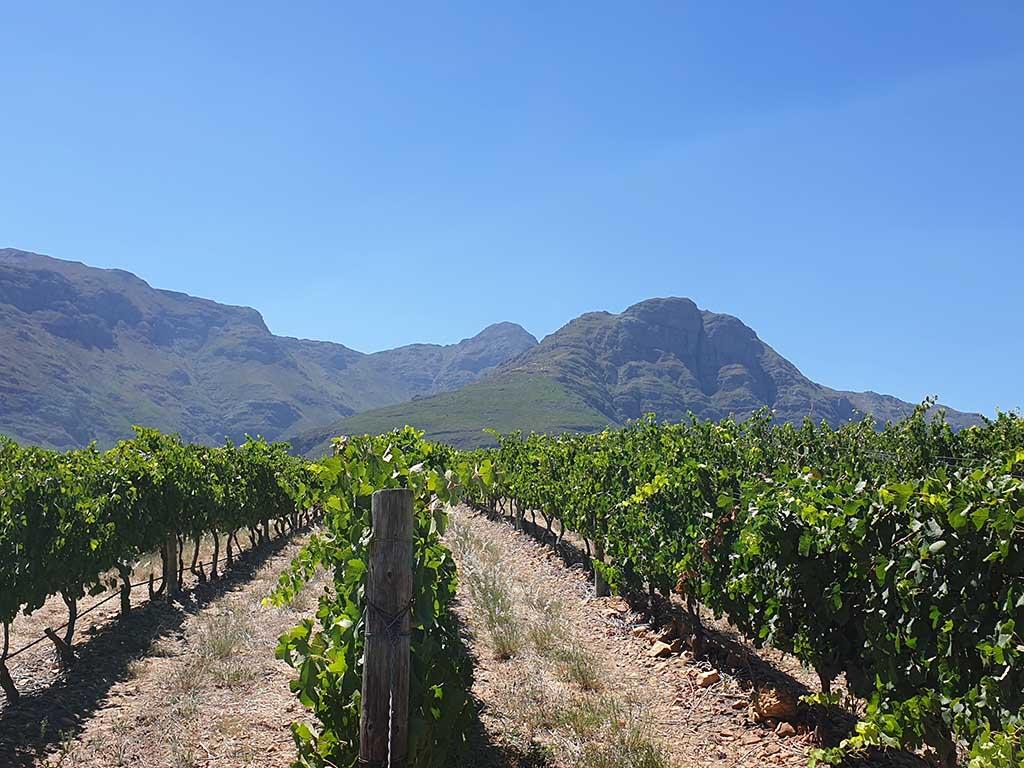 weinreise-südafrika-weinreben beitrag