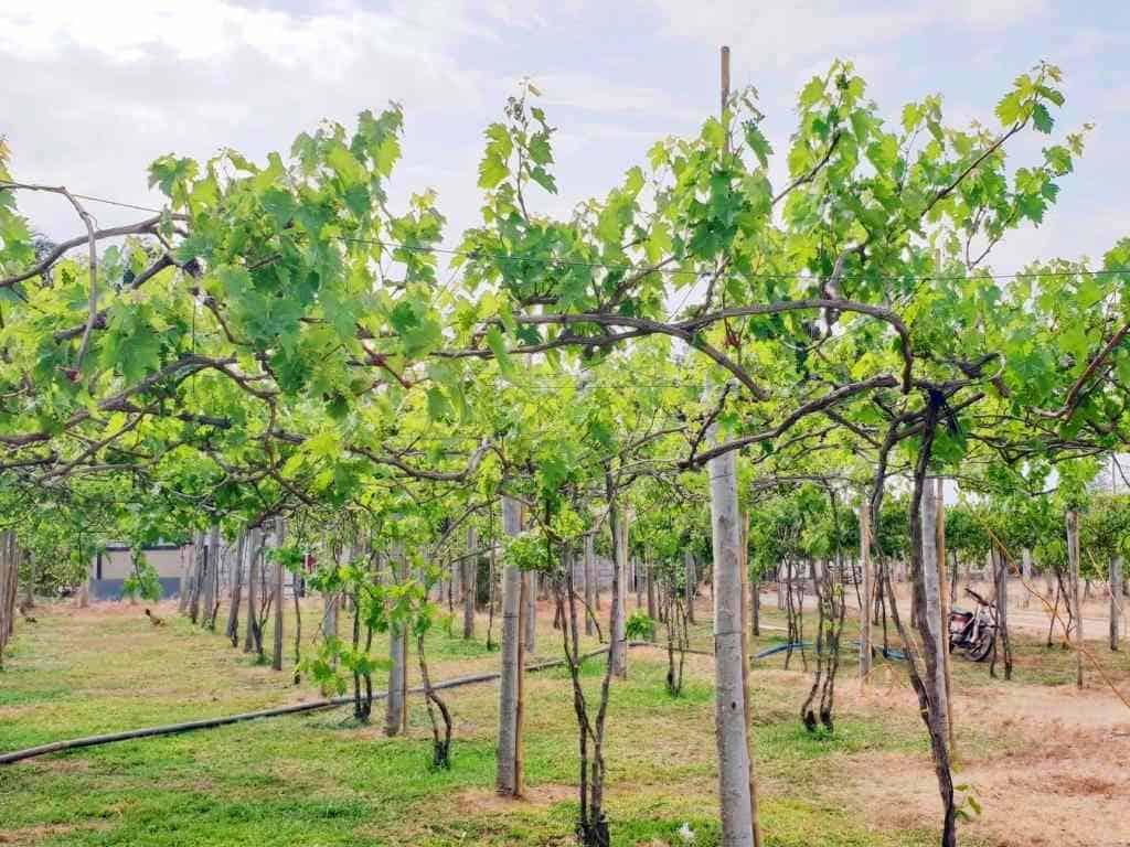 weinanbau auf bali bewässerung der weinreben des balinesischen weinguts hatten wines